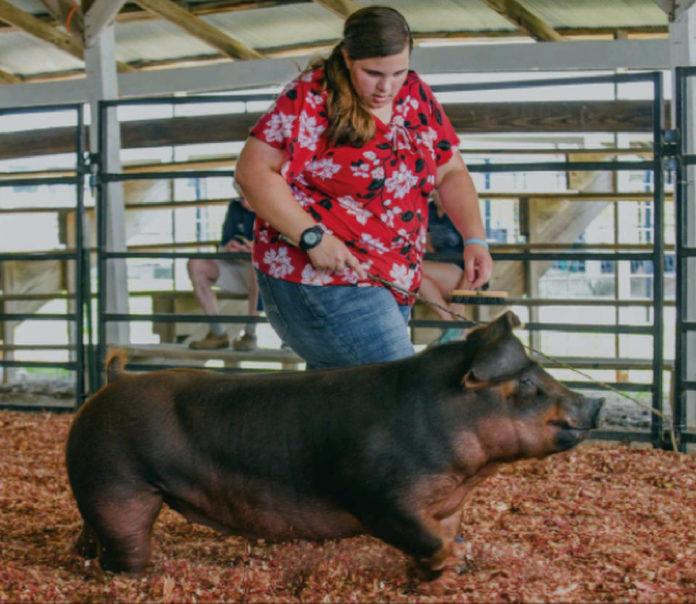 Local yorkshire wins breeding swine show